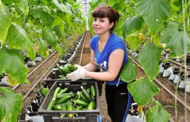 цены на тепличные овощи, тепличные овощи, цена на помидоры, цены на огурцы, почему выросли цены на овощи, цены на тепличные овощи, господдержка тепличного сектора, динамика цен на тепличные овощи