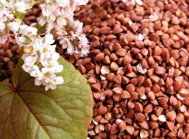 buckwheat rose buckwheat, buckwheat has risen